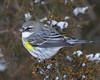 BG-056: Yellow-rumped Warbler
