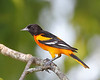 BG-031: Baltimore Oriole
