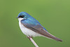 BG-015: Tree Swallow