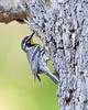 BG-130: Yellow-throated Warbler