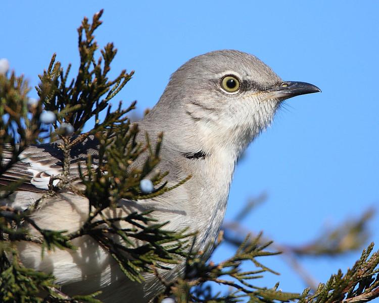 BG-046: Mockingbird