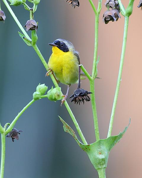 BG-083: Common Yellowthroat