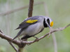 BG-157: Golden-winged Warbler