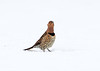 BG-180: Northern Flicker
