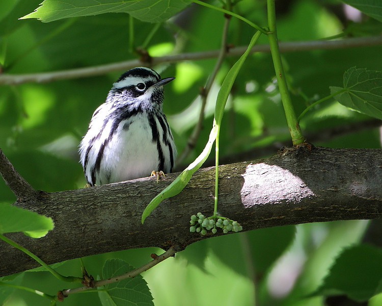 BG-144: Black and White Warbler
