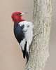 BG-074: Red-headed Woodpecker