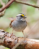 BG-010: White-throated Sparrow