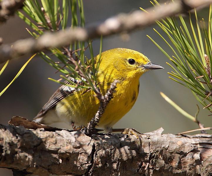 BG-116: Pine Warbler