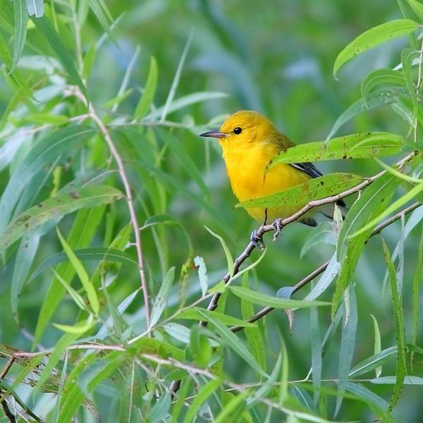 BG-101: Prothonotary Warbler