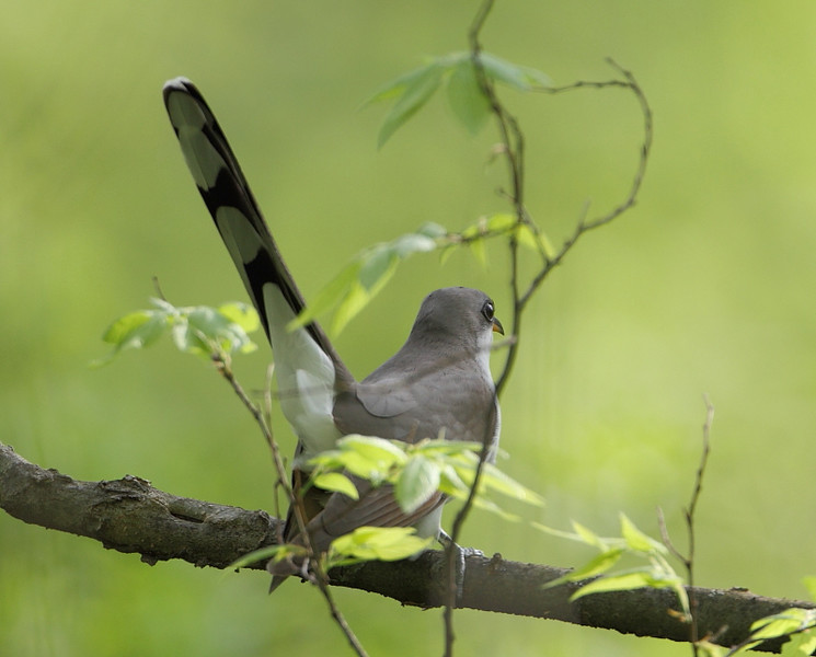 BG-159: Yellow-billed Cuckoo