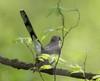 BG-159: Yellow-billed Cuckoo