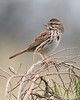 BG-003: Song Sparrow