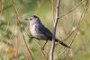 BG-096: Gray Catbird