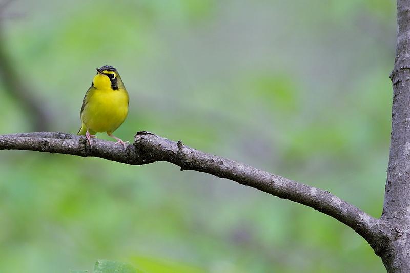 BG-185: Kentucky Warbler