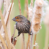BG-039: Red-winged Blackbird