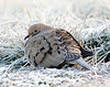 BG-072: Mourning Dove