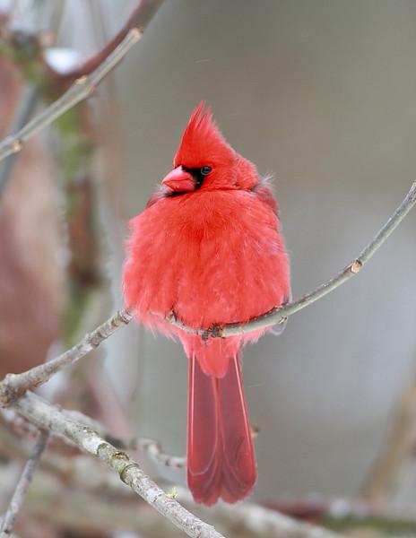 BG-024: Northern Cardinal