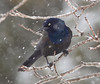 BG-114: Common Grackle in Breeding Plumage