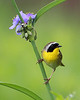 BG-122: Common Yellowthroat on Spiderwort