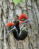 BG-071: Pileated Woodpecker Nestlings