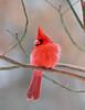 BG-022: Northern Cardinal