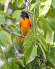 BG-032: Baltimore Oriole