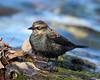 BG-104: Rusty Blackbird