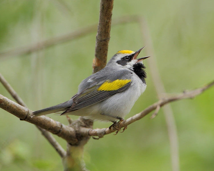 BG-156: Golden-winged Warbler