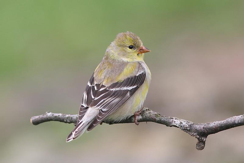 BG-007: Goldfinch