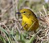 BG-117: Pine Warbler