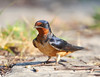 Barn Swallow (BG 044)