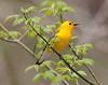 BG-167: Prothonotary Warbler