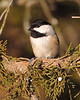 BG-052: Black-capped Chickadee
