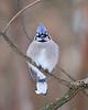BG-023: Blue Jay