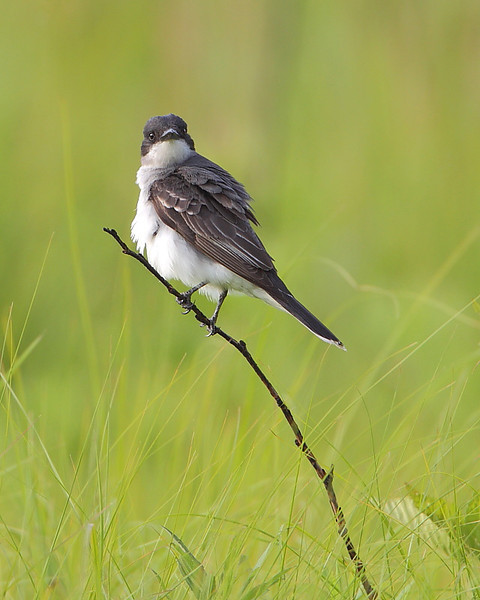 BG-089: Eastern Kingbird