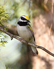 BG-151: Golden-winged Warbler