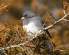 BG-059: Dark-eyed Junco