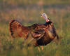 BG-153: Eastern Wild Turkey