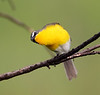 BG-119: Yellow-breasted Chat