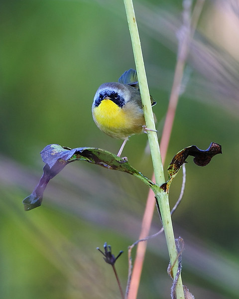 BG-021: Common Yellowthroat