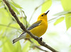 BG-169: Prothonotary Warbler