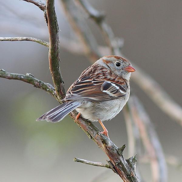 BG-005: Field Sparrow