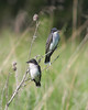 BG-014: Eastern Kingbirds