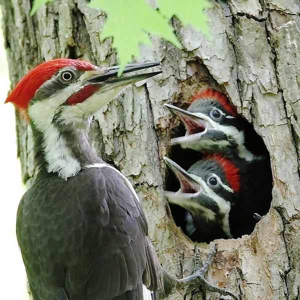 BG-070: Pileated Woodpecker Nest