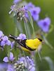 BG-184: American Goldfinch on Spiderwort