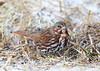 BG-062: Fox Sparrow