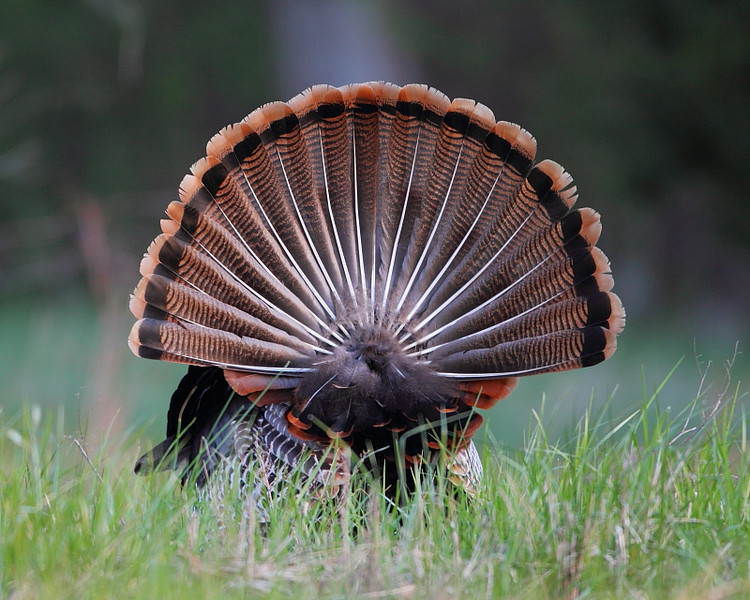 BG-155: Eastern Wild Turkey