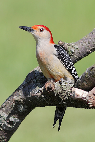 BG-016: Red-bellied Woodpecker