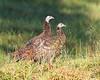 BG-002: Turkey Poults (BG 002)