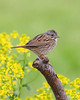 BG-011: Lincoln's Sparrow